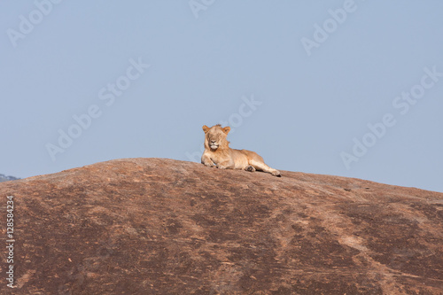 Lion (Panthera leo) with closed eyes lies on huge field stone top against blue sky background. Serengeti National Park, Great Rift Valley, Tanzania, Africa.