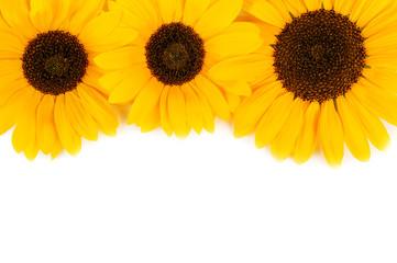 three sunflowers on white
