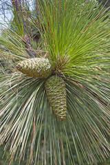 Longleaf pine cones