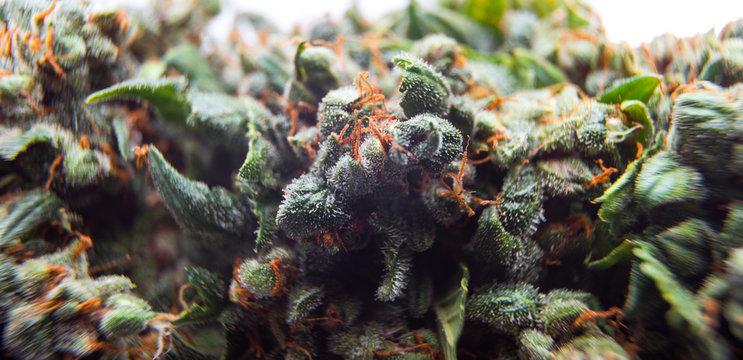 cannabis buds background, marijuana plants