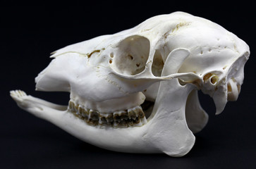 Photo of roe deer skull on white background