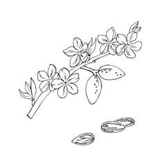 vector simple contour sketch of almond nuts and flowers