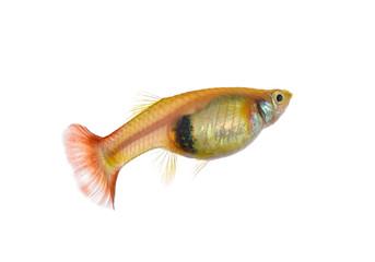 guppy fish on white background