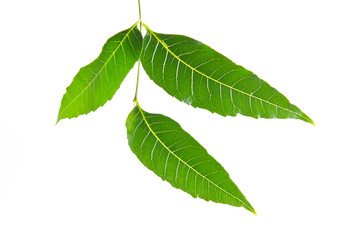 Margosa, nim or neem tree, genus Melia green leaf isolated on wh