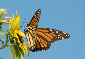 Monarch butterfly feeding on a Sunflower with blue sky background