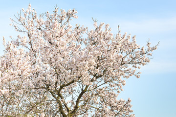 Almond tree with spring blossom flowers