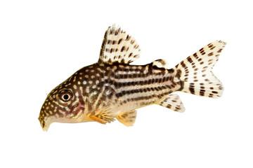 Photo: Cory Catfish Corydoras sterbai Sterbas Cory aquarium fish