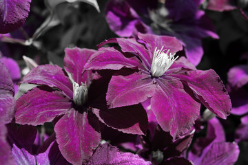 large purple flowers of clematis, black and white photo, select the color