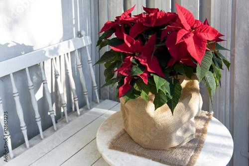 pflanze weihnachtsstern stockfotos und lizenzfreie. Black Bedroom Furniture Sets. Home Design Ideas