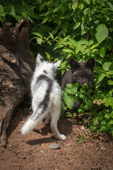 Marble Fox  and Silver Fox (Vulpes vulpes) Back and Front