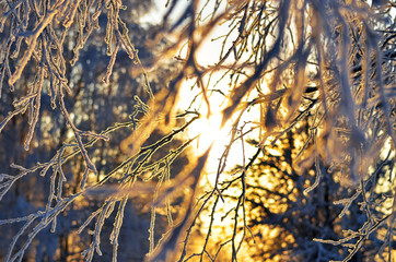 frosted branch. branch covered with frosty rime. winter macro picture. frosty winter, sunny day. Beauty!     sunset through the frost. texture, winter background