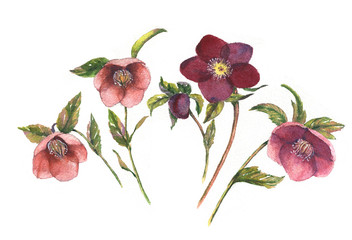 Watercolor botanical illustration of hellebore. Hand painting. Floral drawing for the greeting cards, invitations, personalized card and different decorations.