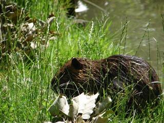 Nutria im Gras am Ufer