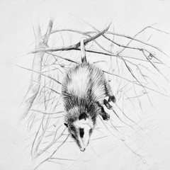 Sleeping black and white possum hanging on a tree branch.