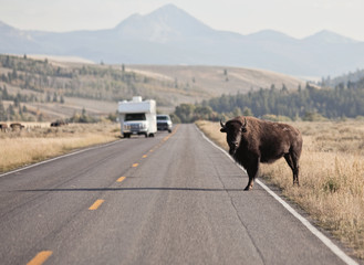 A bison standing on road at Grand Teton National Park