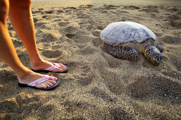 A tourist looks at a seas turtle on the big island of Hawaii.