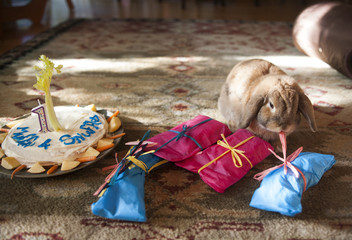 A pet bunny is offered presents and a birthday cake on his first birthday