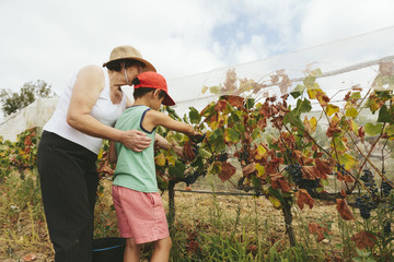 Grandmother teaches grandson to harvest wine grapes in the vineyards.