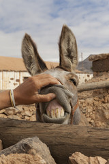 Funny picture of a woman's hand opening the mouth of a donkey showing its big yellow teeth looking like it's smiling