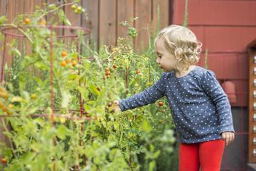 Girl picking cherry tomatoes in garden, Portland, Oregon