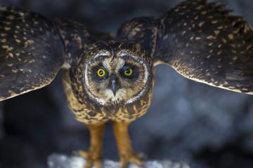 Galapagos Short-eared Owl, Genovesa Island, Galapagos Islands, Ecuador.