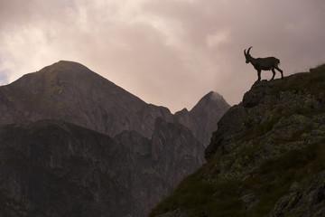 An encounter with a mountain goat (ibex) on a trail near the Rifugio Bernini. Hiking the Sentiero delle Orobie in the Italian Alps.