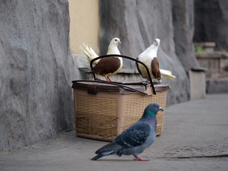 White pigeon with brown wings sitting on carry is for the birds. Passes the ordinary, grey city pigeon