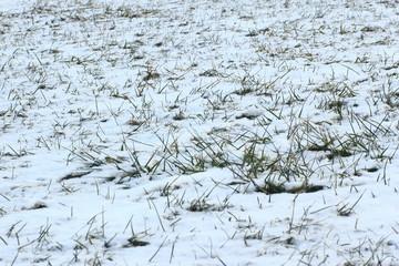 12月 枯草に降り積もった新雪