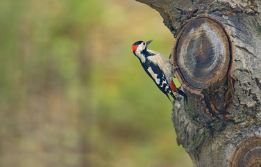 Male great spotted woodpecker (Dendrocopos major)