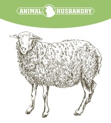 sheep breeding sketch
