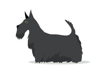 Scottish Terrier, Aberdeen Terrier, Scottie Breed