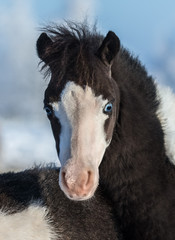 Fototapete - American miniature horse. Foal with blue eyes.