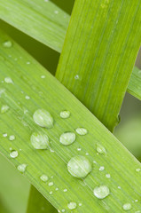 Dew drops on green blades of grass