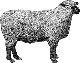 Vintage image sheep