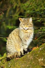 Sitting Wild Cat