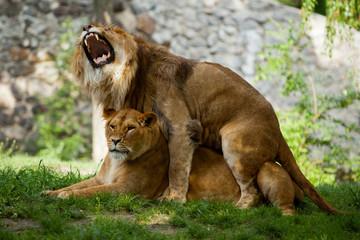 couple love lions