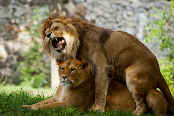 couple love lions