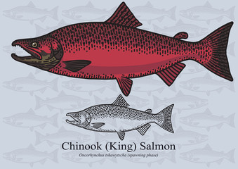 Chinook (King) Salmon (Spawning phase). Vector illustration for artwork in small sizes. Suitable for graphic and packaging design, educational examples, web, etc.
