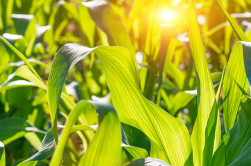 Green leaves of corn. Agricultural background