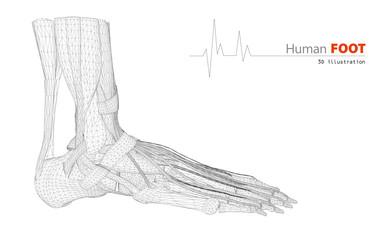 3d Illustration on Human Anatomy, Foot Isolated Background