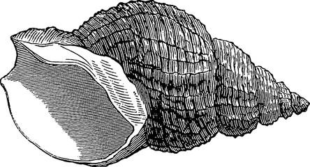 Vintage image sea shell