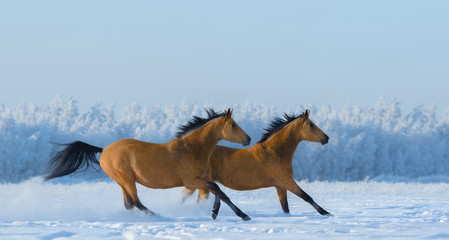Wall Mural - Two free horses gallops across field in winter.