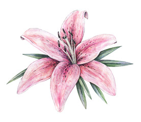 Pink lily flowers isolated on white background. Watercolor handwork illustration. Drawing of blooming lily with green leaves