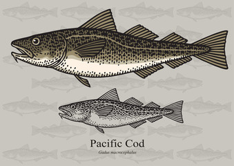 Pacific Cod. Vector illustration for artwork in small sizes. Suitable for graphic and packaging design, educational examples, web, etc.
