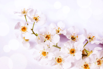 Floral wallpaper. Cherry flowers blossom poster, Soft blurred style with special colored and light effects