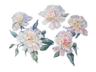 white peonies watercolor isolated