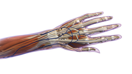 Female Hand and Wrist Anatomy Dorsal View White Background