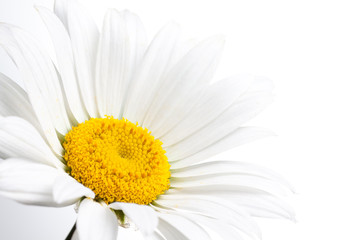 Camomile, beautiful white flower, macro. Floral wallpaper
