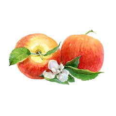 Watercolor red apples on a white background