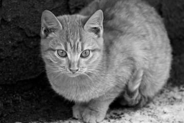 Black-and-white image of a kitten.